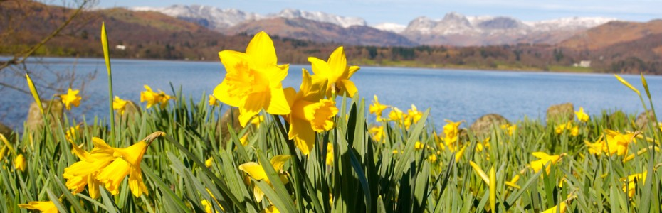 Daffodils at Lake Windermere