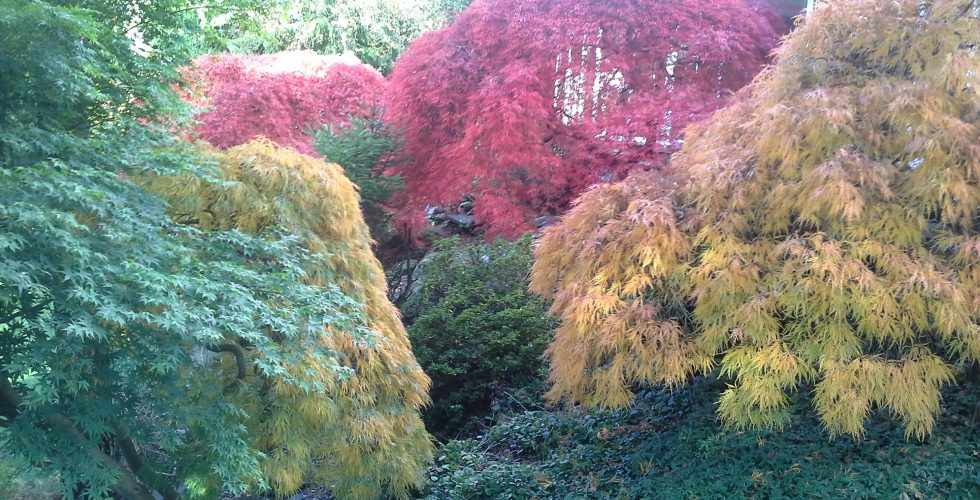 20151026_114932-acers-in-autumn